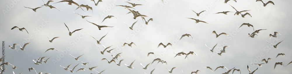 Group of flying seagulls against dramatic sky, close-up. Birds, ornithology, animal wildlife. Pattern, wallpaper, background, concept art. Monochrome, panoramic image. France, Europe, Atlantic ocean