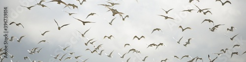 Fotografie, Obraz Group of flying seagulls against dramatic sky, close-up