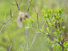 Arctic Warbler, Phylloscopus Borealis