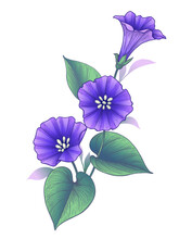 Hand Drawn Violet Bindweed Flower With Leaves