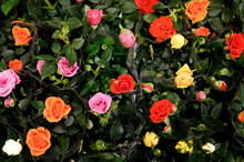 Multicolored Mini Rose Flowers In Full Bloom Close Up On Store Of Flowers. Selective Focus