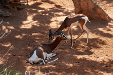Beautiful Portrait Of A Pair Of Dama Gazelles One Standing And The Other Lying On The Ground In A Zoo In Valencia, Spain
