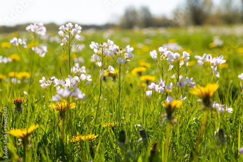 Cuckoo flowers and dandelions in a sunny green meadow from a low viewpoint Fotobehang