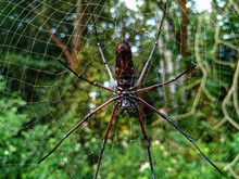 A Red Legged Spider Hanging On The Web.