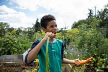 Boy Biting Into Freshly Picked Carrot In Community Garden