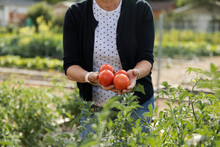 Woman With Handful Of Tomatoes In Community Garden