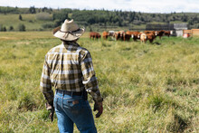 Male Rancher Watching Cattle In Sunny Field On Rural Ranch