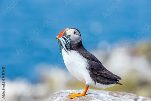 Carta da parati Puffin, atlantic puffin, Scientific name: Fratercula arctica with a beak full of sand eels