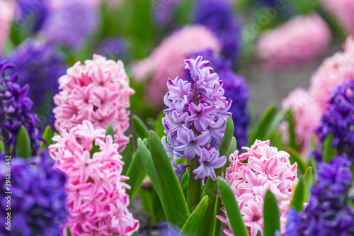 Fototapeta Large flower bed with multi-colored hyacinths, traditional easter flowers, flower background, easter spring background