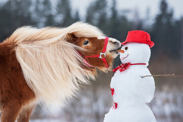 Funny miniature shetland breed pony stallion trying to eat a snowman's carrot nose. Horse in winter.