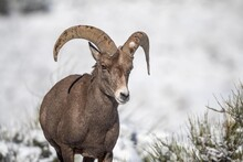 Big Horned Sheep In Winter