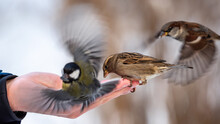 A Man Feeds Sparrows And Tits ...