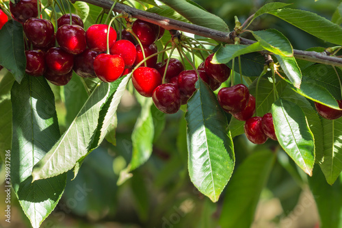closeup of ripe cherries on cherry tree branch with blurred background and copy Canvas