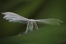 Small White Moth Macro