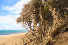 Twisted Wind Swept Trees On Tropical Beach By Pacific Ocean