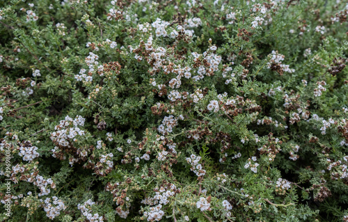 Wallpaper Mural Eriocephalus africanus or Kapokbossie or Wild Rosemary