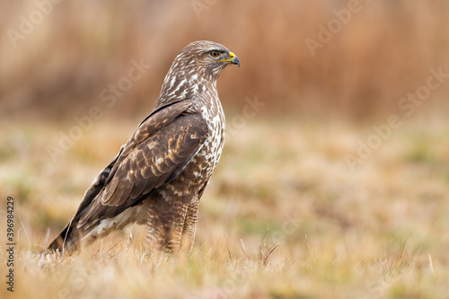 Carta da parati Alert common buzzard, buteo buteo, standing on dry grass and looking aside with copy space