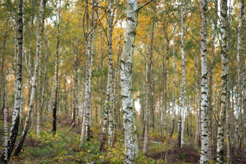 Fototapeta A wooded area filled with silver birch tree trunks during autumn in southern Swe