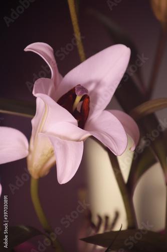 Obraz Lilia różowa kwiat płatek pręcik - fototapety do salonu