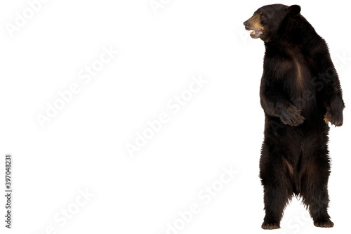 A standing male grizzly bear with a black fur, watchful eyes at white background Fototapete
