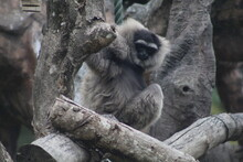 White Faced Spider Monkey