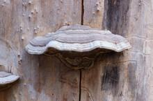 Mature Bracket Fungus On Dead Tree