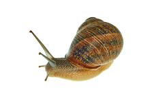 Snail Photographed In Studio On A White Background