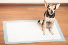 A Dog On An Absorbent Diaper Diaper Pad, How To Train A Puppy To The Toilet