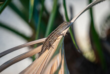 Brown Anole On Top Of Dried Fan Palm Leaves