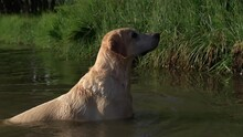 Yellow Lab Wading And Swimming In Water