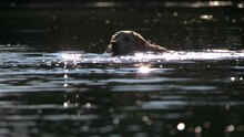 Yellow Lab Swimming In Water On Sunny Day - Dogs