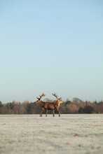 Two Red Deer Stags Stand Back To Back On A Winter's Morning.