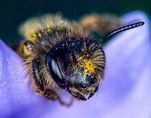 Bee Sleeping On Purple Flower