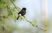 The Pied Bush Chat Is A Small Passerine Bird Found Ranging From West Asia And Central Asia To The Indian Subcontinent And Southeast Asia.