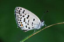 Lepidoptera Insect On Wild Plants, North China