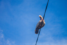 Pigeon Sit On Cable, Makassar - South Sulawesi, Indonesia (Ryan Farm).