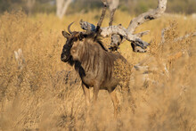 Wildebeast Also Known As Gnoe In Pom Pom Concession Okavango Delta, Botswana, Hiding In The Tall Yellow Grass