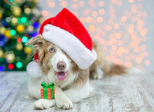 Border Collie Wearing Red Santa Hat Lying With Gift Box. Festive Background With Christmas Tree. Empty Space For Text
