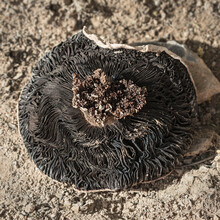 An Upside Down Creamy White Mushroom Showing Resident Insect Larvae And The Black Lamella Or Gills With Sandy Soil In The Background