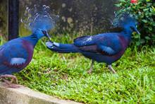 Western Victorian Crowned-pigeon In Kuala Lumpur Bird Park, Malaysia