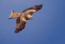 Kite In Flight,Red Kite, Milvus Milvus, Bird Of Prey