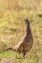 Pheasant In The Grass, Ring-necked Pheasant, Female Pheasant , Phasianus Colchicus