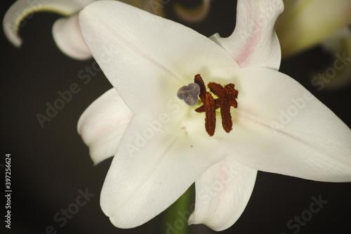 Obraz Biała lilia na czarnym tle - fototapety do salonu