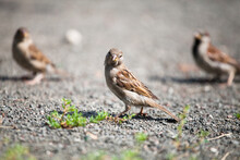 Three Gray Brown Sparrows On G...