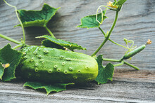 Fresh Cucumbers With Green Leaves And Flowers On Wooden Table. Farming For Growing Cucumbers. Vegetables For Making Fresh Salad. Healthy Food For Vegetarians.