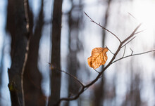 Brown Leaf Clinging To A Tree Branch In The Woods On A Fall Day.