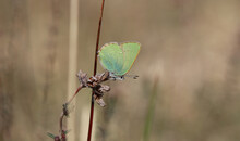 Grüner Zipfelfalter - Green Hairstreak