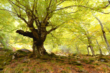Aged Big Tree In Autumnal Forest
