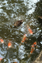 Beautiful Carps And One Dusk Swimming In The Japanese Pond