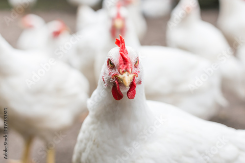 Photo white rooster on a farm